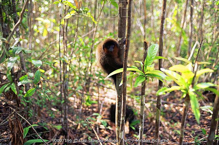 Dusky titi monkey (Callicebus moloch) Amazonas, Brazil  -  Luiz Claudio Marigo/ npl