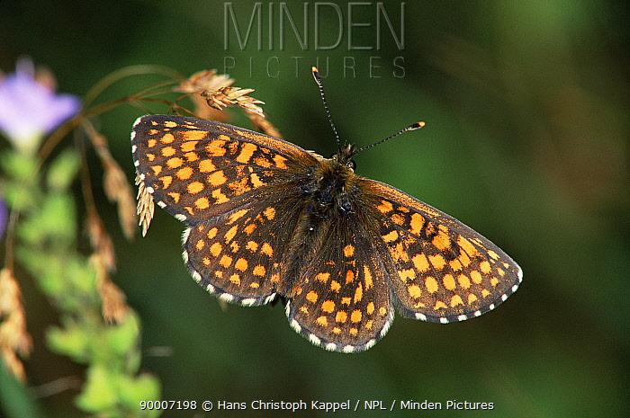 Nickerl's fritillary butterfly (Mellicta aurelia) resting Germany  -  Hans Christoph Kappel/ npl