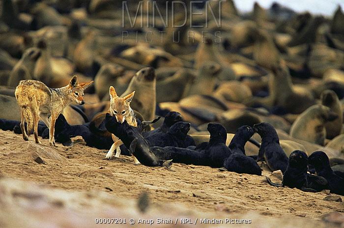 Black-backed Jackal (Canis mesomelas) attacks Cape Fur Seal pup (Arctocephalus pusillus) Cape Cross Seal Reserve, Namibia  -  Anup Shah/ npl