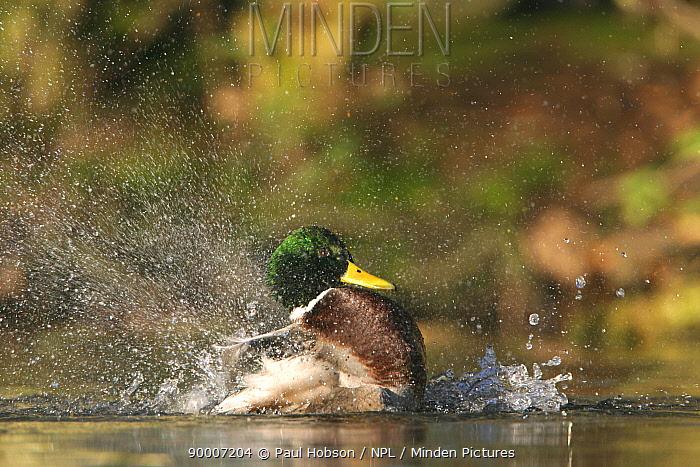 Mallard (Anas platyrhynchos) drake bathing in water, lancashire, United Kingdom  -  Paul Hobson/ npl