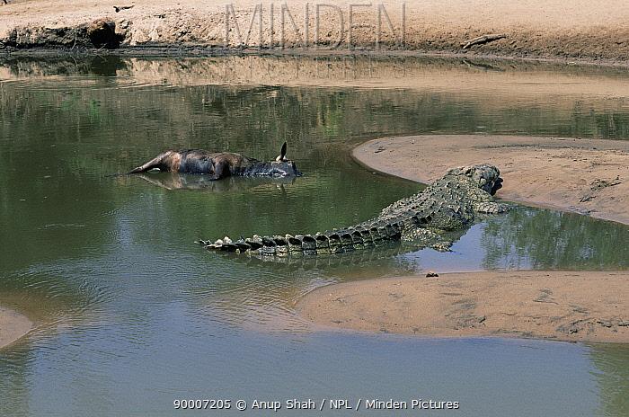 Nile Crocodile (Crocodylus niloticus) next to carcass, Grumeti River, Serengeti, Tanzania  -  Anup Shah/ npl