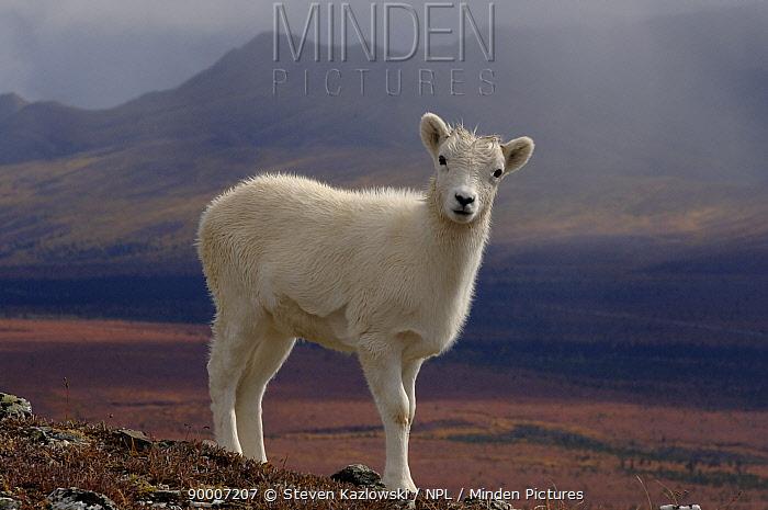 Dall's Sheep (Ovis dalli) young juvenile portrait, Denali National Park, Alaska  -  Steven Kazlowski/ npl