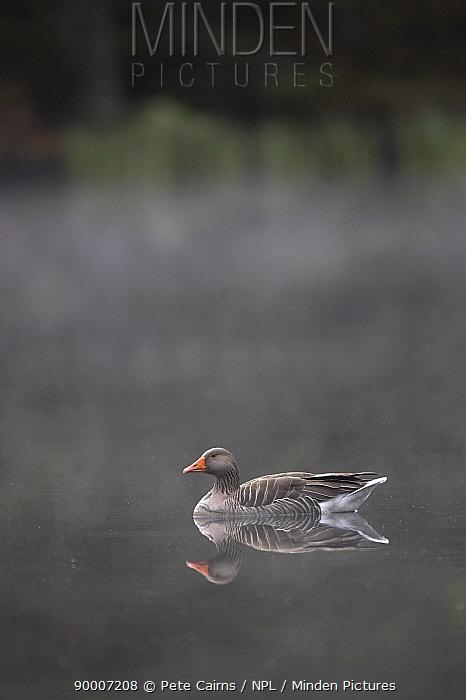Greylag Goose (Anser anser) Cairngorms National Park, Scotland United Kingdom  -  Pete Cairns/ npl