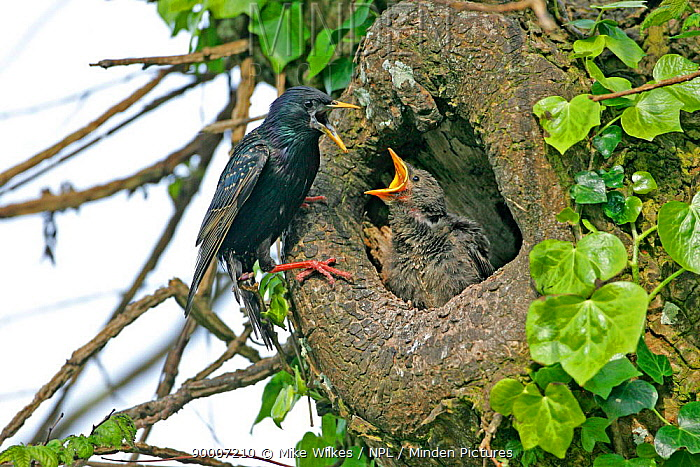 Common Starling (Sturnus vulgaris) at nest hole with chick, Isles of Scilly, United Kingdom  -  Mike Wilkes/ npl