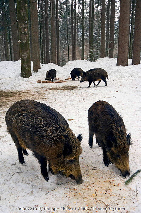 Wild Boar (Sus scrofa) feeding at artificial feeding station Bavarian Forest, Germany  -  Philippe Clement/ npl