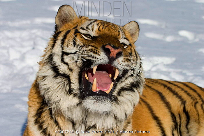 Siberian Tiger (Panthera tigris altaica) bearing teeth,  -  Dave Watts/ npl