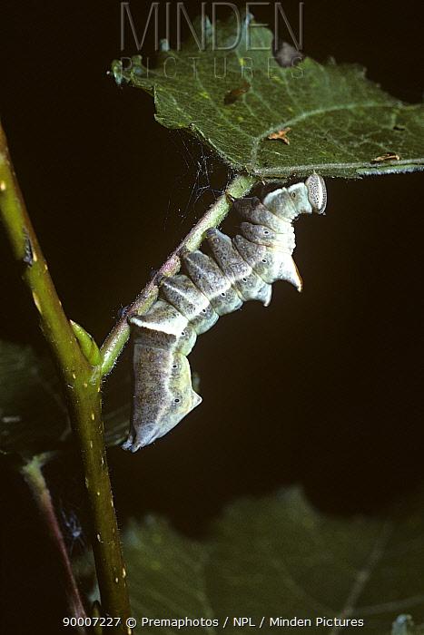Pebble Prominent (Notodonta ziczac) caterpillar, United Kingdom  -  Premaphotos/ npl