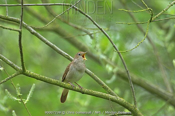 Nightingale (Luscinia megarhynchos) adult singing Cambridgeshire, England  -  Chris Gomersall/ npl