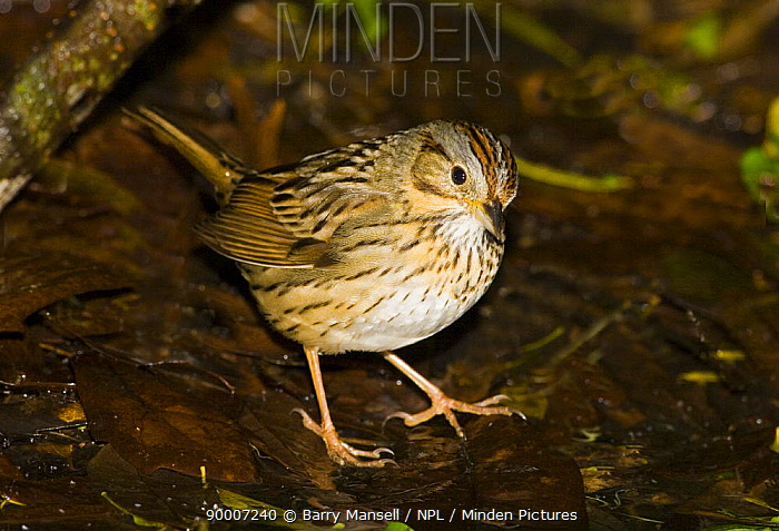 Lincoln's Sparrow (Zonotrichia lincolnii) on woodland floor amongst leaf litter, USA  -  Barry Mansell/ npl