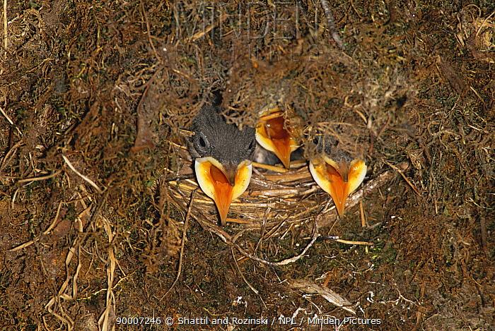 American Dipper (Cinclus mexicanus) chicks calling in nest, Colorado  -  Shattil & Rozinski/ npl