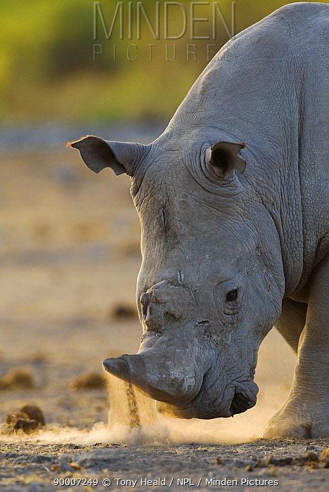 White Rhinoceros (Ceratotherium simum) horning and snorting display, Etosha National Park, Namibia  -  Tony Heald/ npl