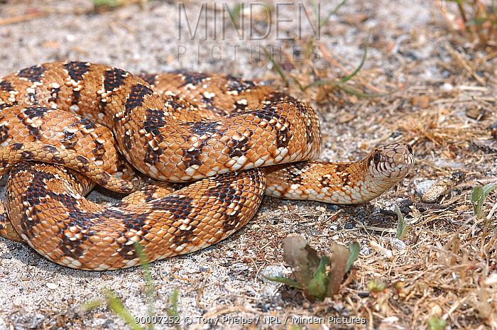 Mole snake (Pseudaspis cana) juvenile, Cape Town, South Africa  -  Tony Phelps/ npl