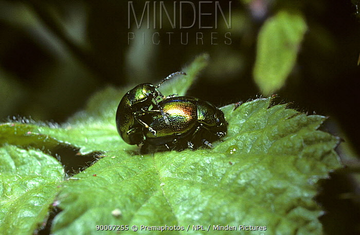 Hemp-nettle leaf beetles (Chrysolina fastuosa) mating pair, UK  -  Premaphotos/ npl