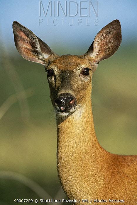 White-tailed Deer (Odocoileus virginianus) female, Colorado  -  Shattil & Rozinski/ npl
