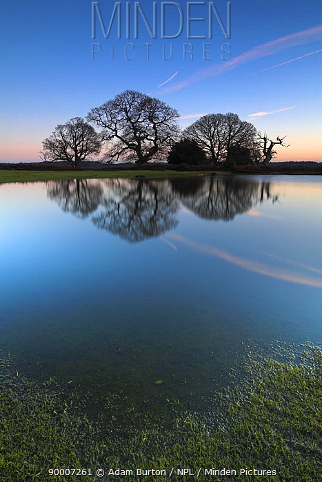 Silhouetted oak trees reflect in pond, New Forest National Park, Hampshire, England  -  Adam Burton/ npl