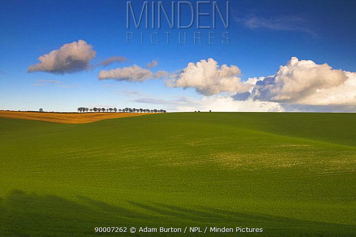 A row of trees besides rolling arable fields, Cheesefoot Head, Hampshire, England  -  Adam Burton/ npl