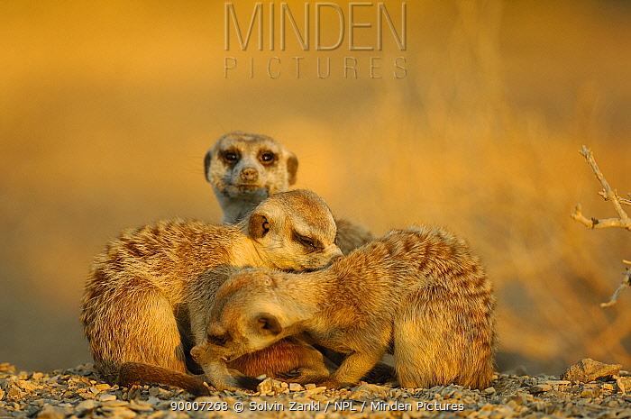 Meerkat (Suricata suricatta) family group, mutual grooming, South Africa  -  Solvin Zankl/ npl