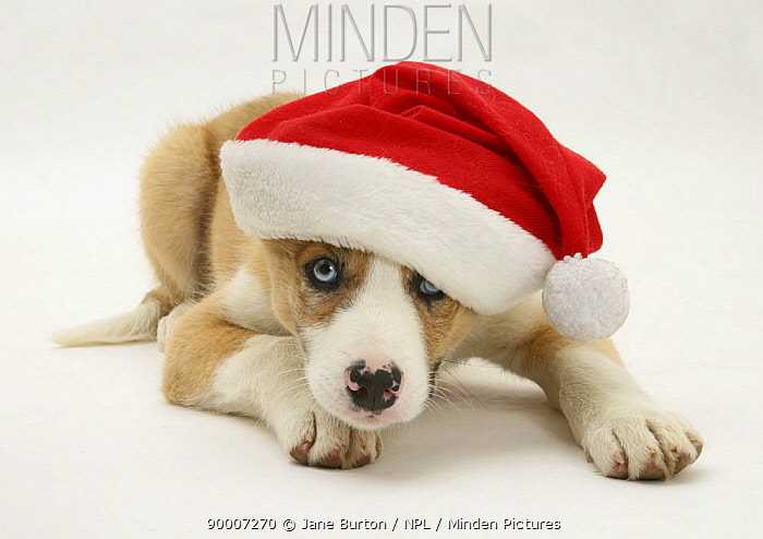 Blue-eyed red merle Border Collie puppy wearing a Father Christmas hat  -  Jane Burton/ npl