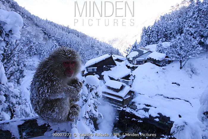 Japanese Macaque (Macaca fuscata) sitting with view of hot spring hotel in background, Jigokudani, Nagano, Japan  -  Yukihiro Fukuda/ npl