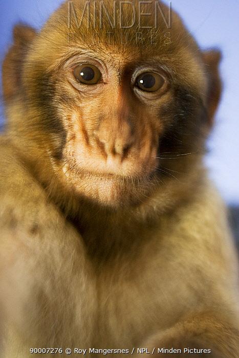 Barbary Macaque (Macaca sylvanus) young Gibraltar  -  Roy Mangersnes/ npl