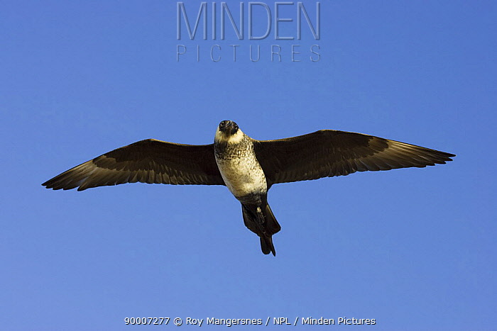 Pomarine Jaeger (Stercorarius pomarinus) female in flight over arctic tundra, Barrow, Alaska  -  Roy Mangersnes/ npl