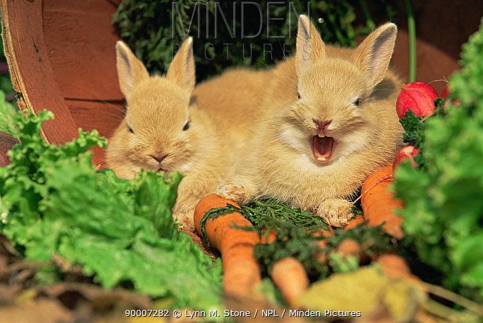 Baby palamino Domestic rabbits amongst vegetables, yawning  -  Lynn M. Stone/ npl