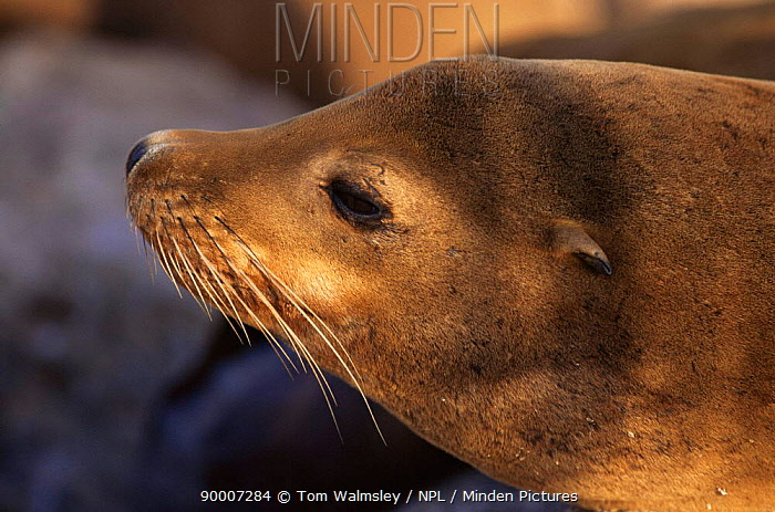 California Sea Lion (Zalophus californianus) Monterey Bay, California  -  Tom Walmsley/ npl