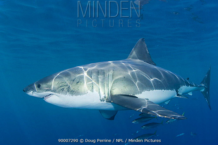 Great White Shark (Carcharodon carcharias)Guadalupe Is, Mexico, Pacific Ocean  -  Doug Perrine/ npl