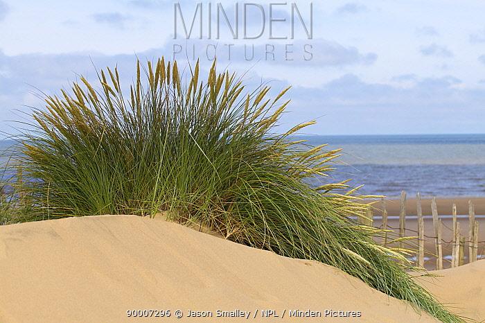 European Beachgrass (Ammophila arenaria) on moving dune system, Formby, Merseyside, United Kingdom  -  Jason Smalley/ npl