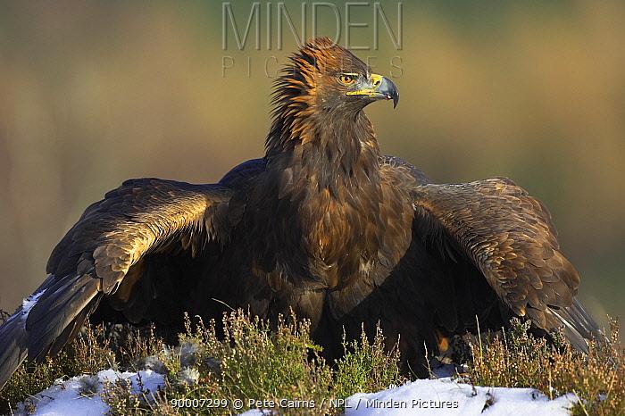 Golden Eagle (Aquila chrysaetos) adult male mantling, captive, Cairngorms National Park, Scotland United Kingdom  -  Pete Cairns/ npl