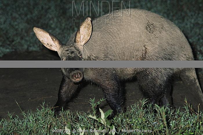 Aardvark (Orycteropus afer) muddy from digging, Serengeti NP, Tanzania  -  Owen Newman/ npl