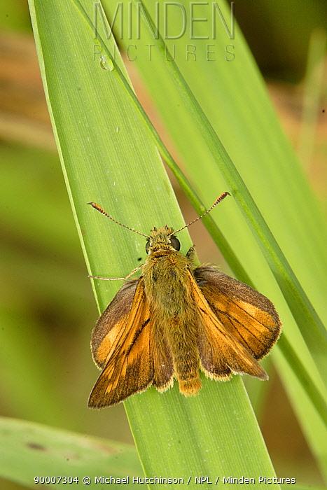 Large Skipper butterfly wings open (Ochlodes venatus) Bristol, UK  -  Michael Hutchinson/ npl