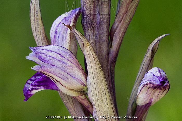 Violet bird's-nest orchid (Limodorum abortivum) La Brenne, France  -  Philippe Clement/ npl