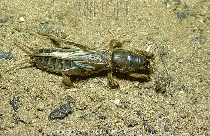Female Mole cricket (Gryllotalpa sp), savanna habitat, Kenya  -  Premaphotos/ npl