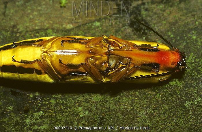 Click beetle (Semiotus insignis) female underside showing the click mechanism, rainforest, Costa Rica  -  Premaphotos/ npl