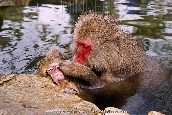 Japanese Macaque (Macaca fuscata) adult grooming juvenile in hot thermal pool, Jigokudani, Japan  -  Adrian Davies/ npl