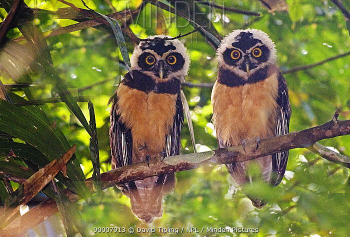 Minden Pictures Spectacled Owl Pulsatrix Perspicillata Juveniles Perching In Tree Gamboa Panama David Tipling Npl