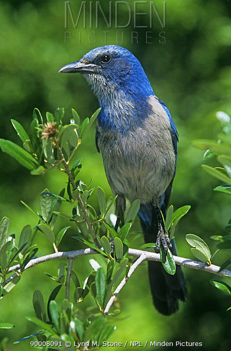 Florida Jay (Aphelocoma coerulescens), Florida  -  Lynn M. Stone/ npl