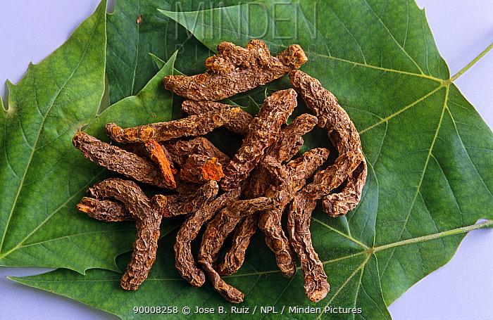 Tumeric roots (Curcuma longa) Spain  -  Jose B. Ruiz/ npl