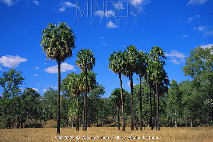 Australian Fan Palm (Livistona australis) in Carnarvon National Park, Queensland, Australia  -  William Osborn/ npl
