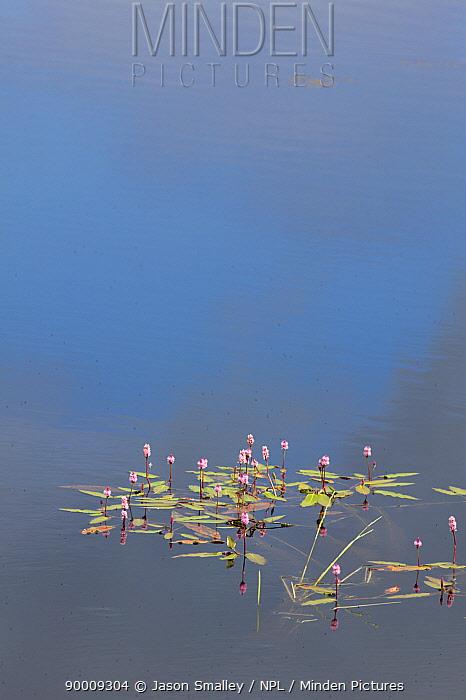 Amphibious Bistort (Persicaria bistorta, Polygonum sp) growing in Loch Ken, Scotland, UK  -  Jason Smalley/ npl