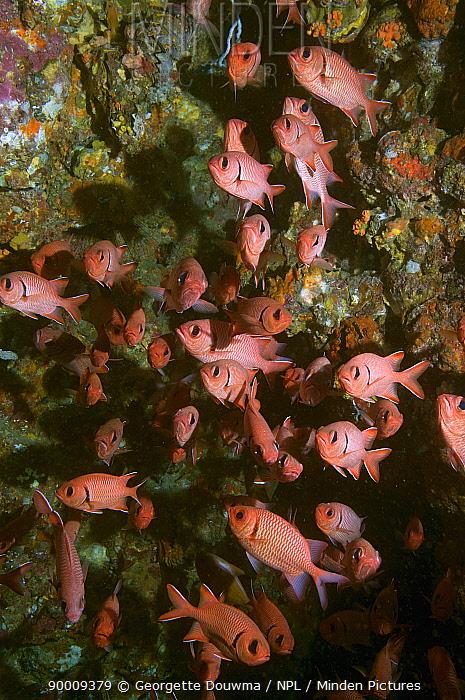 Red soldierfish (Myripristis murdjan), Andaman Sea, Thailand  -  Georgette Douwma/ npl