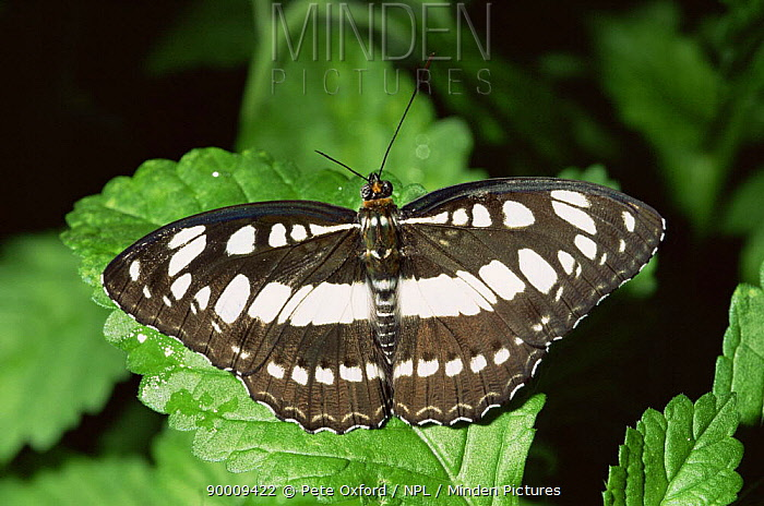 Common sargeant butterfly (Athyma perius) Malaysia  -  Pete Oxford/ npl