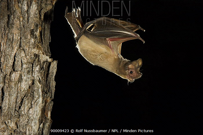 Brazilian Free-tailed Bat (Tadarida brasiliensis) adult flying from day roost in tree hole, Rio Grande Valley, Texas  -  Rolf Nussbaumer/ npl