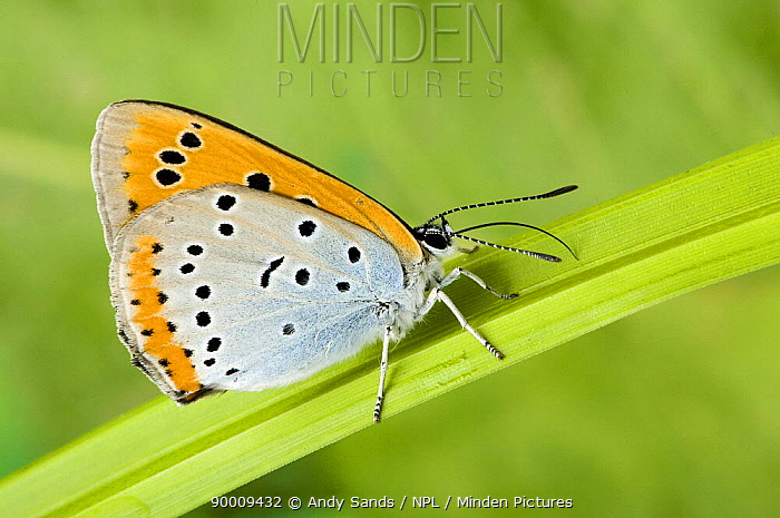 Large Copper (Lycaena dispar) Wings closed with proboscis fully extended United Kingdom  -  Andy Sands/ npl