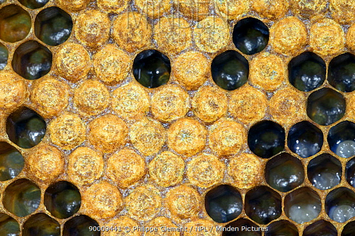 Honey Bee (Apis mellifera) comb with open cells and capped cells containing larvae, Belgium  -  Philippe Clement/ npl