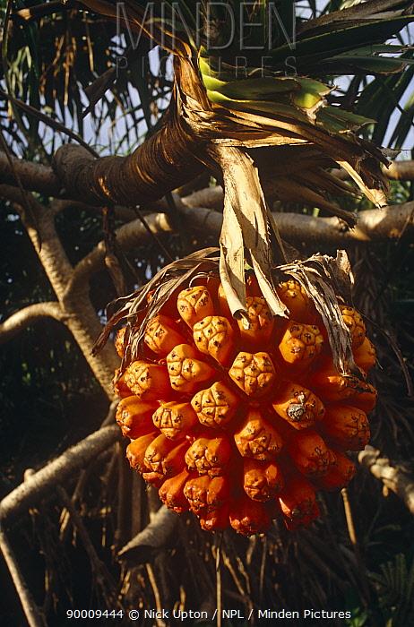 Fruit of Screwpine palm (Pandanus odoratissimus) Orchid Island coast, Taiwan  -  Nick Upton/ npl