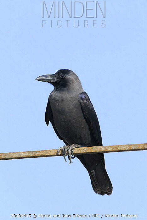 House crow (Corvus splendens) perched, Hodeidah, Yemen  -  Hanne & Jens Eriksen/ npl