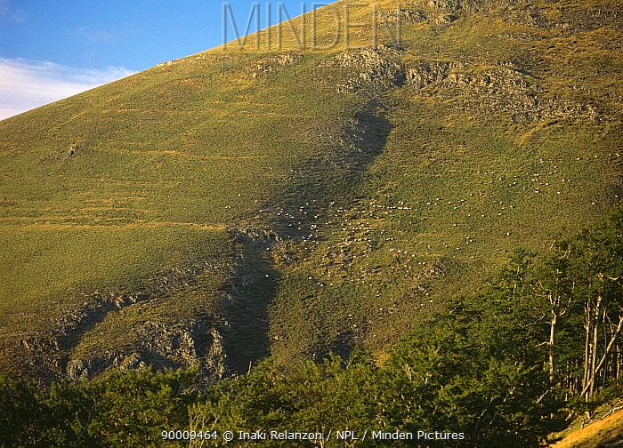 Flock of sheep grazing the steep slopes of mountains at Astobizkar, Puerto de Ibaneta, Orregaga-Roncesvalles, Navarra Spanish Pyrenees  -  Inaki Relanzon/ npl