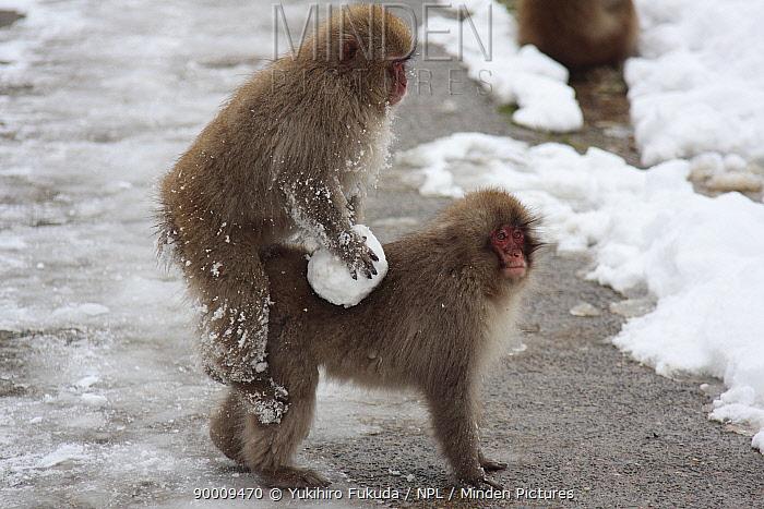 Japanese Macaque (Macaca fuscata) playing with snowball and play mounting another monkey, Jigokudani, Nagano, Japan  -  Yukihiro Fukuda/ npl